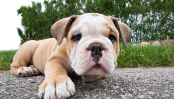 Puppy English Bulldog facing camera on sidewalk