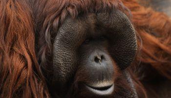 A Bornean orangutan (Pongo pygmaeus) named Peek, stands on a...