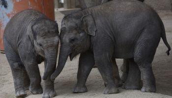 The baby Sumatran elephant 'Vera', left, pictured playing...