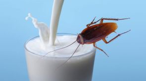 Roach Milk