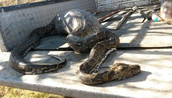 13 Foot Python Bites Off More Than He Can Chew!