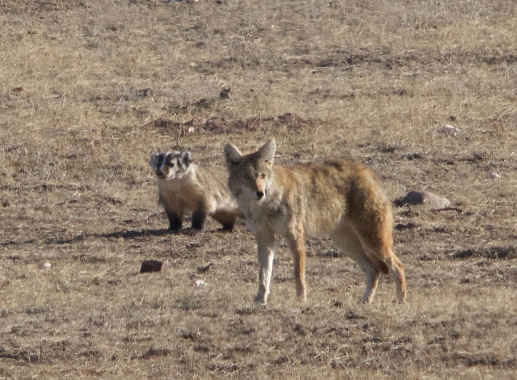 Coyote And Badger Spotted Working As Hunting Team