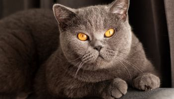 Young cute cat resting on wooden floor. The British Shorthair pedigreed kitten with blue gray fur